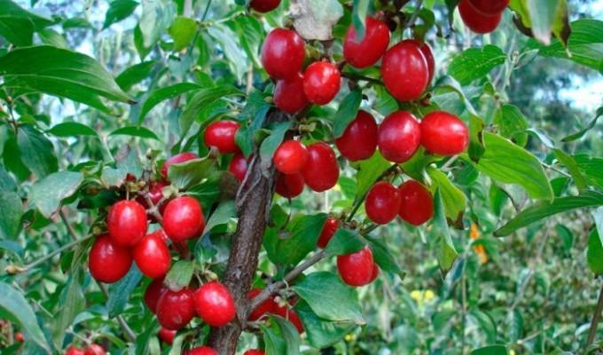 Кизил - шайтанова ягода - легенда Криму