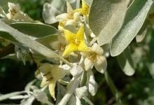 Срібляста маслинка - легенда Криму